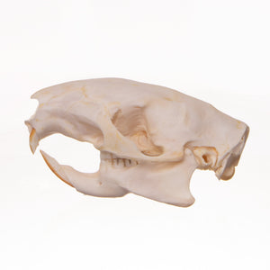 Real Brush-tailed Porcupine Skull