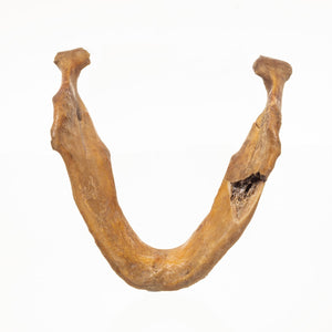 Real Antique Human Mandible