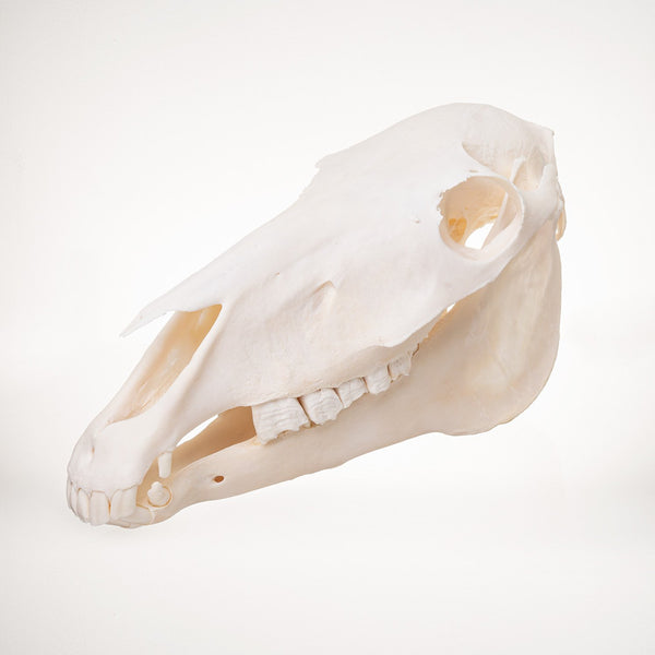 Real Miniature Horse Skull