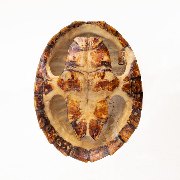 Real Discounted Turtles (Set of 2)