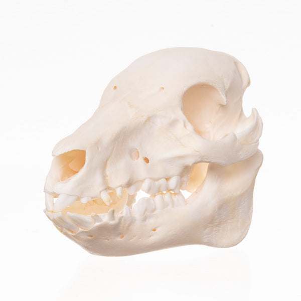 Real Domestic Pig Skull-Juvenile