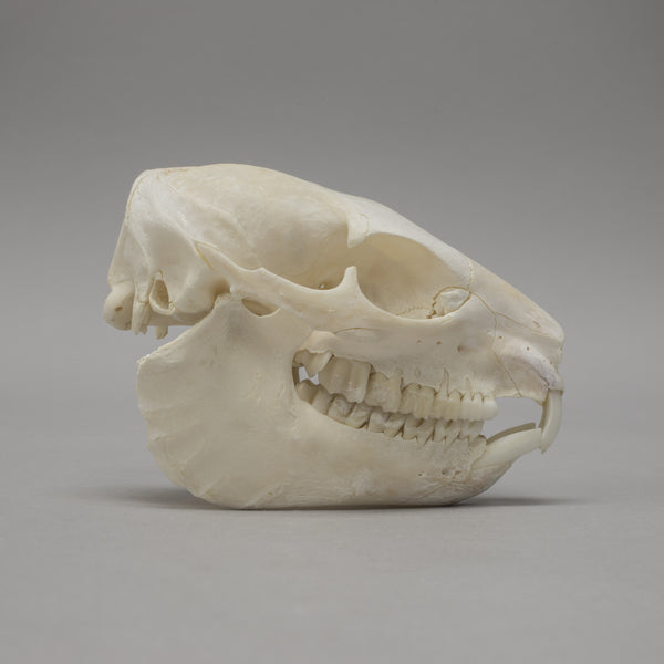 Real Rock Hyrax Skull