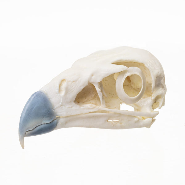 Replica Northern Crested Caracara Skull