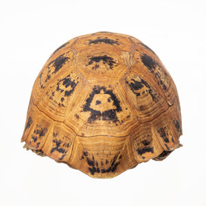 Real Preserved Leopard Tortoise