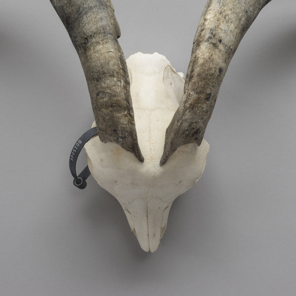 Real Spanish Goat Skull