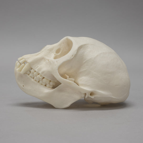 Real Vervet Monkey Skull
