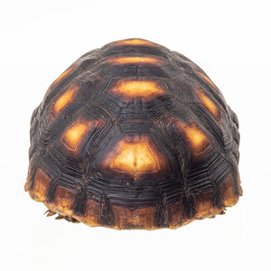 Real Preserved Yellow-footed tortoise