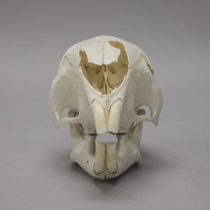 Real Cape Porcupine Skull