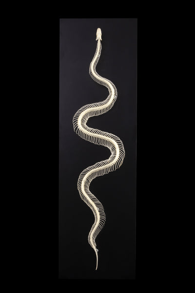 Real Articulated Ball Python Skeleton on Display Board