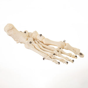 Real Human Tibia and Left Foot (Articulated)