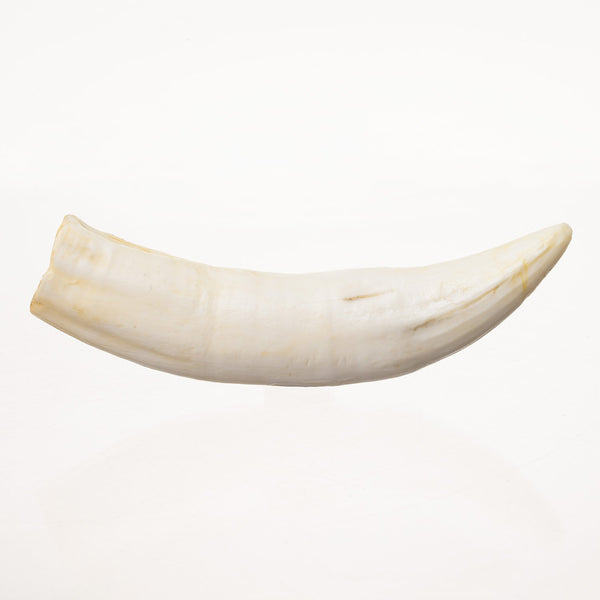 Replica Nile Crocodile Tooth