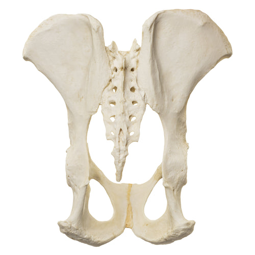 Replica Male Chimpanzee Pelvis-Articulated
