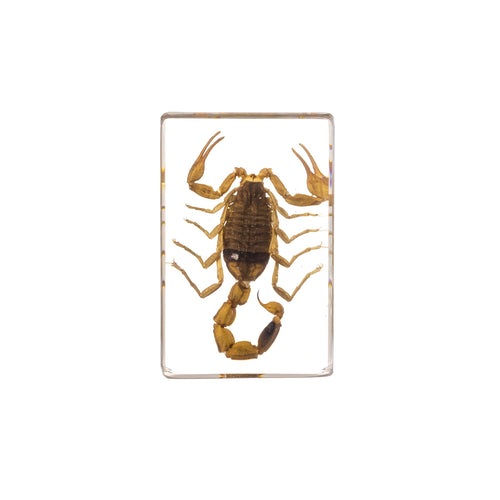 Real Acrylic Golden Scorpion Paperweight (Small)