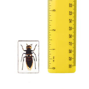 Real Acrylic Wasp Paperweight (Small)