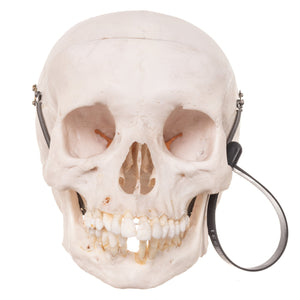 Real Human Skull - With Case