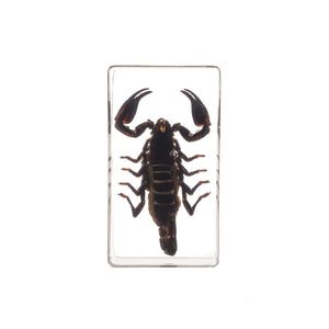 Real Acrylic Black Scorpion Paperweight (Medium)