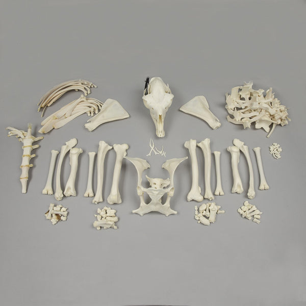 Real Alpaca Skeleton