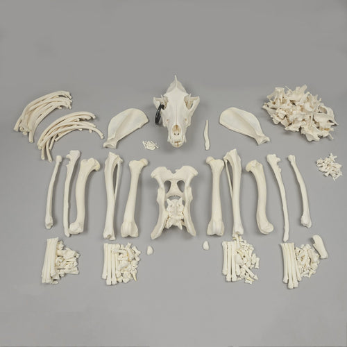 Real Gray Wolf Skeleton - (Disarticulated)