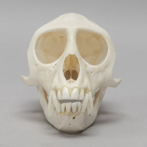 Real Vervet Monkey Skull - (Male)