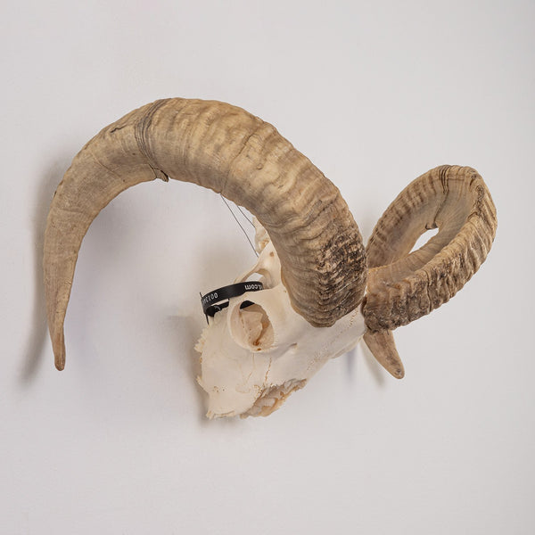 Real Domestic Ram Skull