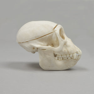 Real Sooty Mangabey Skeleton - (Disarticulated)