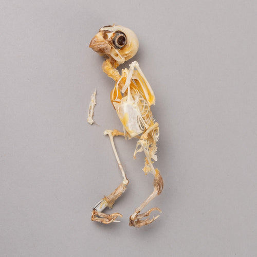 Real Variable Seedeater Skeleton