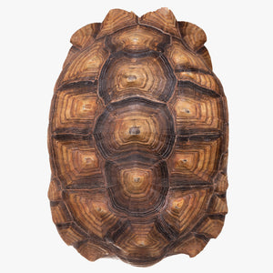 Real Sulcata Tortoise Shell and Skull