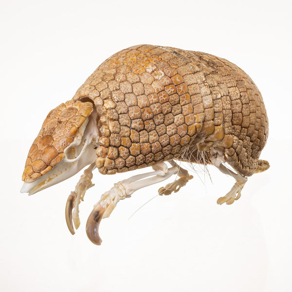 Real Three-banded Armadillo Skeleton (Articulated with Removable Shell)