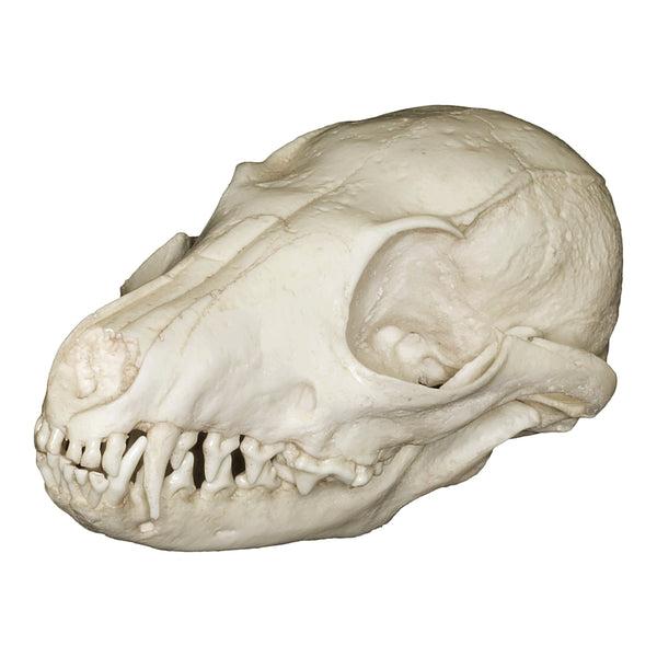 Replica Island Gray Fox Skull