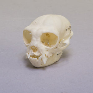 Real Red-handed Tamarin Skull
