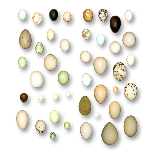 Replica North American Bird Eggs Set of 36