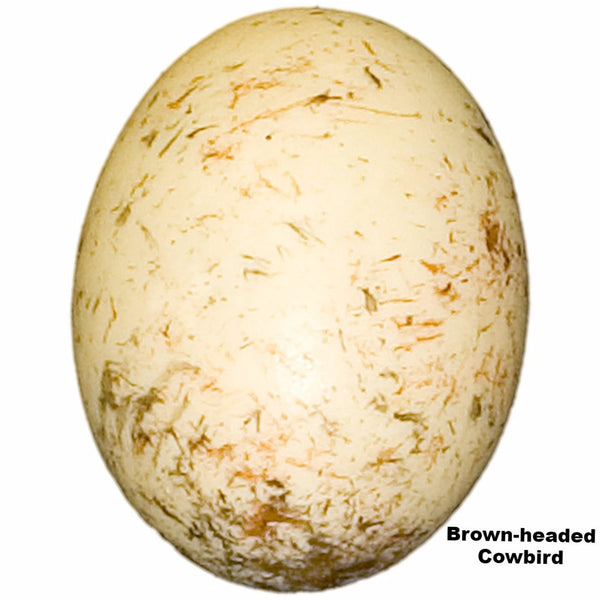 Replica Brown-headed Cowbird Egg (23mm)