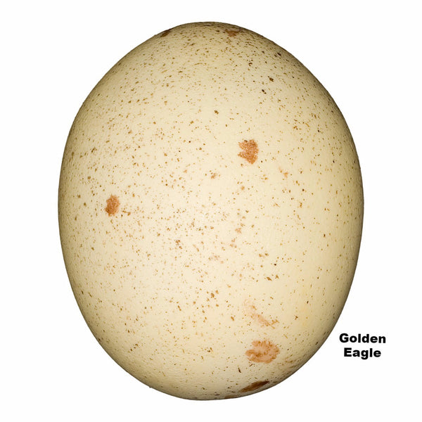 Replica Golden Eagle Egg (74mm)