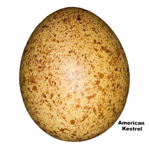 Replica American Kestrel Egg (34mm)