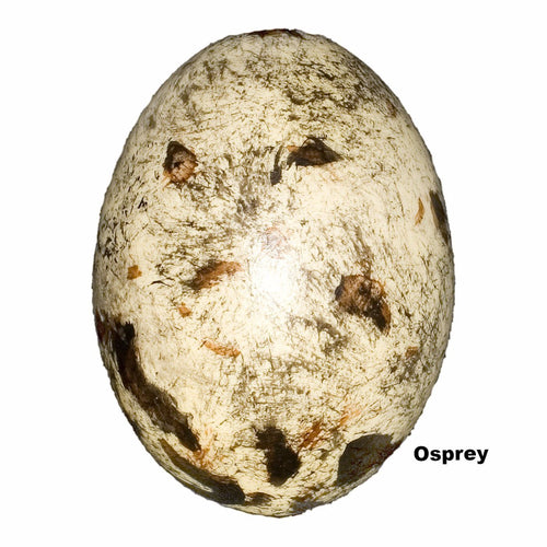 Replica Osprey Egg (60mm)