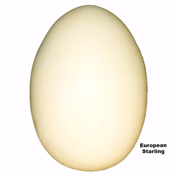 Replica European Starling Egg (34mm)
