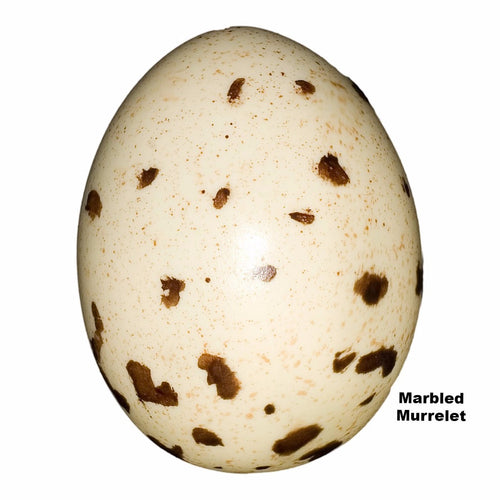 Replica Marbled Murrelet Egg (50mm)