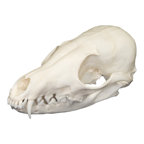 Real Kit Fox Skull