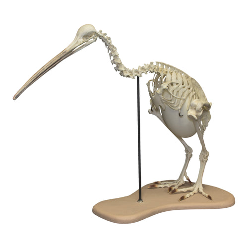Replica Brown Kiwi Articulated Skeleton