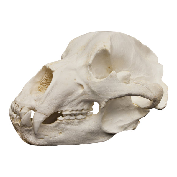 Replica Kodiak Grizzly Bear Skull