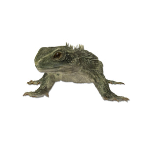 Replica Tuatara Life Cast
