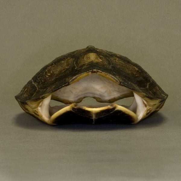 Real South American Wood Turtle Skull and Shell