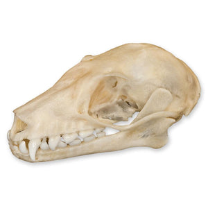 Old World Fruit Bat Skull