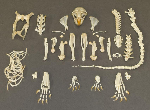Real Muskrat Skeleton