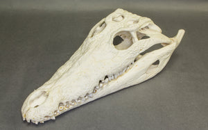 Nile Crocodile Skull With Worn Teeth