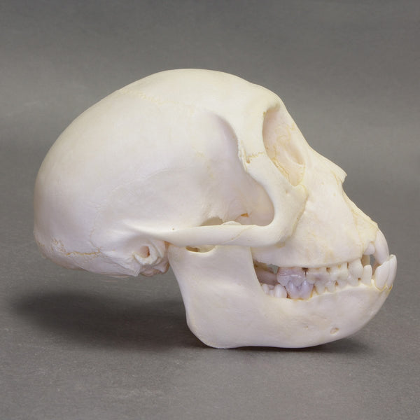 Real Rhesus Monkey Skeleton