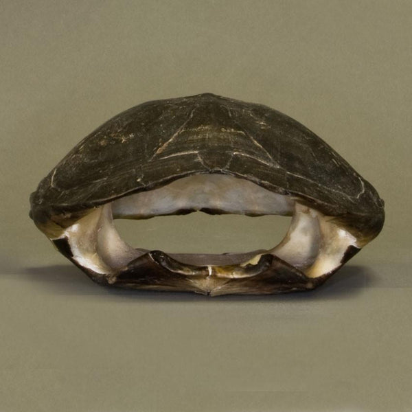 Real Black Marsh Turtle Skull and Shell