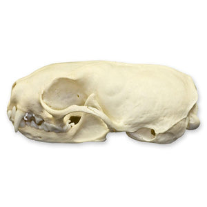 Real European Stoat Skull