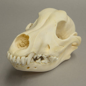 Real Adolescent Dog Skull