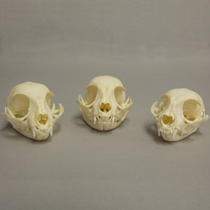 Real Adolescent Cat Skulls Set of 3